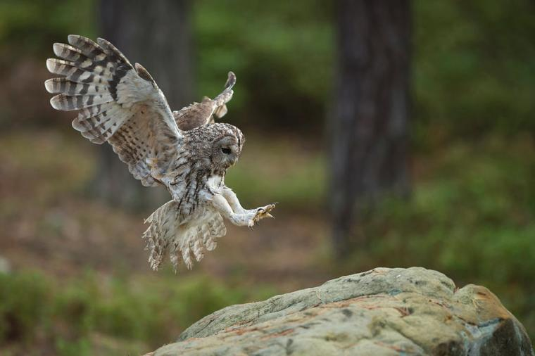 tawny-owl-strix-aluco-just-before-landing-wonderfulearth